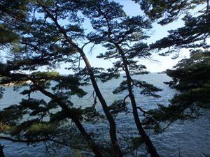 雄島の松林