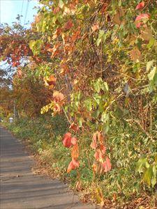 垂れ下がる山ブドウの葉