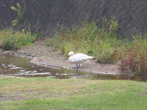 白鳥発見 白鳥の湖ですね