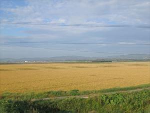 色鮮やかな麦畑