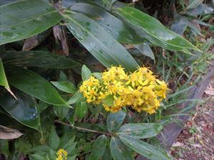 ミヤマアキノオトギリソウ まだまだ花は見られる