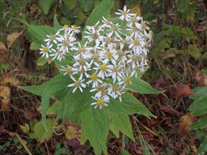 白い花のエゾゴマナ 華やかですね