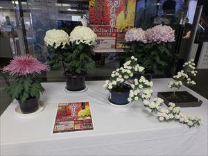 同時開催の菊まつり