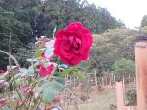 刺激的な赤い薔薇 人は誰もいない