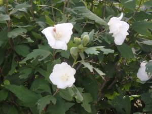 きれいな白い薔薇 でも熊がでるらしい はやく戻ろう
