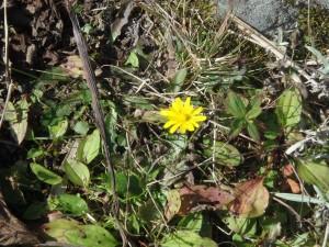 キクイモの黄色い花