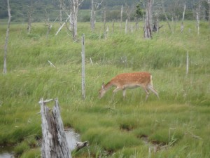 鹿もいる春国岱 野鳥はもちろん沢山いる