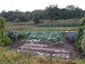 野菜が沢山の畑
