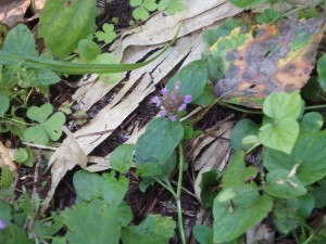 赤紫のヒメオドリコソウ