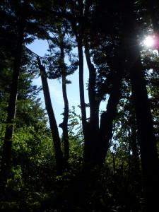 下が1本の木になっている千本シナの木