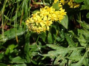 黄色のミヤマアキノキリンソウ