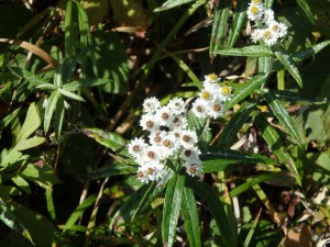 ヤマハハコの白い花 ノコギリソウではない