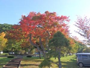 日の光に輝く紅葉