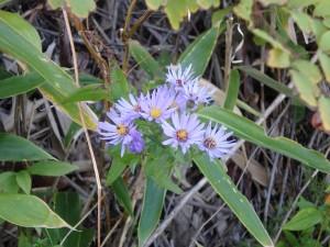 うす紫のヒメジョン