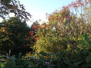 今年もきれいな紅葉が楽しみ