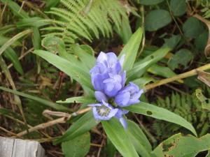 紫のエゾリンドウ