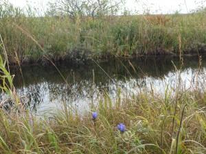 沼とリンドウ