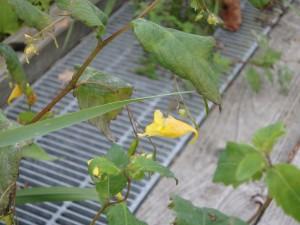 黄色いツリフネソウ