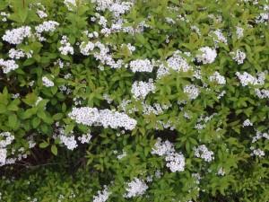 白い花が沢山咲いてる
