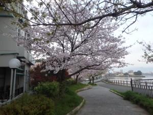 川沿いのきれいな桜並木