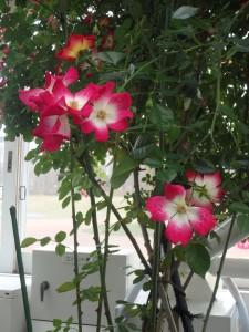 赤白でめでたい薔薇