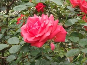 立派なバラ