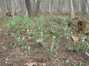 スノードロップの群生 花言葉は「希望」「慰め」