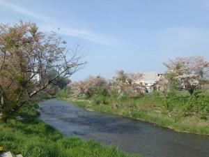 川沿いの桜並木 アベックが肉を焼いてた