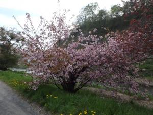 色が濃い八重桜