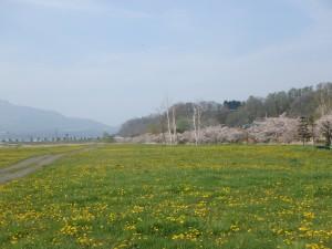 見事なタンポポと桜に感動