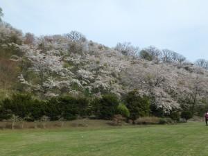 見事な桜に感動