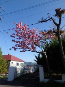 きれいな桜を今年も見られた