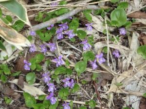 紫のミヤマスミレ