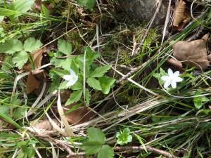 エゾイチゲも白い可憐な花