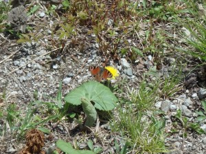 きれいな蝶 残念、名は分らない