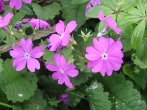 花びらが独特の ピンクのサクラソウ