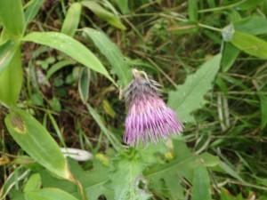 紫のアポイアザミ