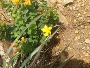 黄色いサマニオトギリ