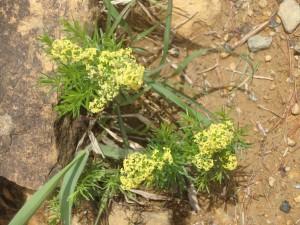黄色のエゾノカワラマツバ