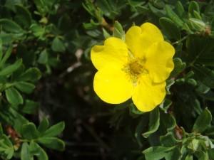 黄色のキンロバイ