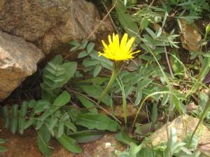 黄色いエゾコウゾリナ