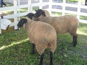 羊が3匹 生です