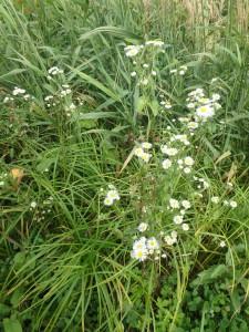 白いヒメジョンの花