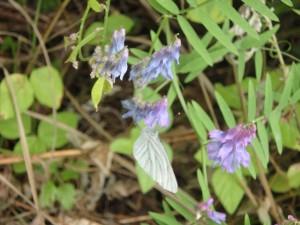 紫のクサフジ