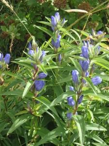 青紫のエゾリンドウ