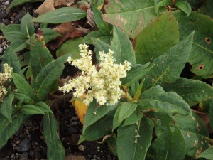 白い花のウラジロタデ