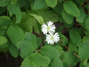 カラマツソウは白い花 花が多くてうれしい悲鳴