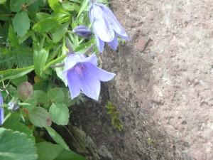 紫のイワギキョウ