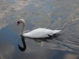 きれいな一羽の白鳥