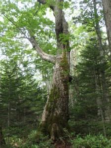 周囲4.9mのドングリの木